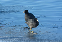 Two American Coot (Fulica Americana) Birds Standing On Ice Of Freezing Winter Lake