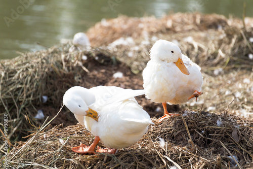 Photo  White ducks preening next to a pond or lake.