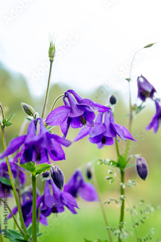 Photo Flowers Aquilegia vulgaris on the meadow