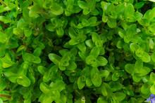 Water Hyssop Leaves