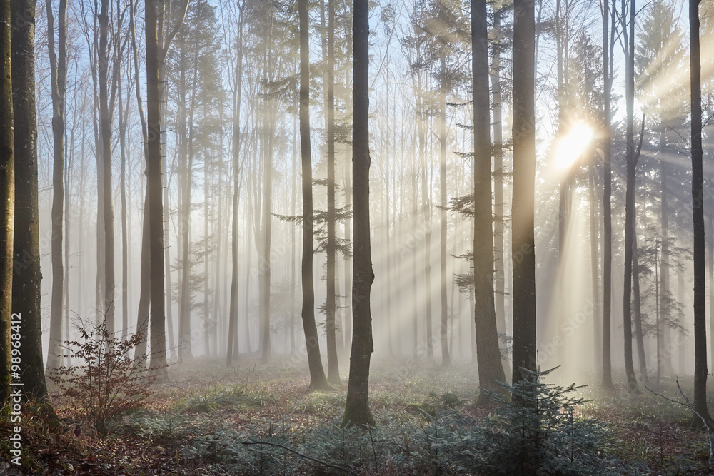 Sun rays through the foggy forest