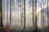 Fototapeta Las - Sun rays through the foggy forest