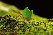 Leaf Cutter Ants Carry A Leaf