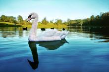 Single Swan On Cold Winter Lake