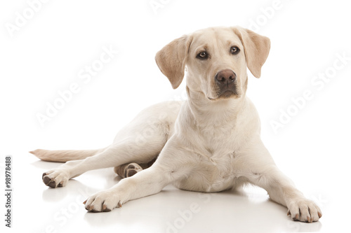 Zdjęcie XXL Złoty Labrador Retriever