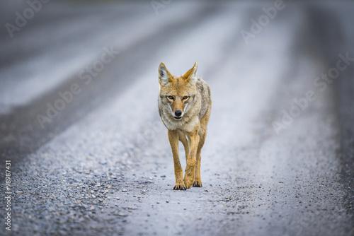Photographie Coyote (Canis Latrans)