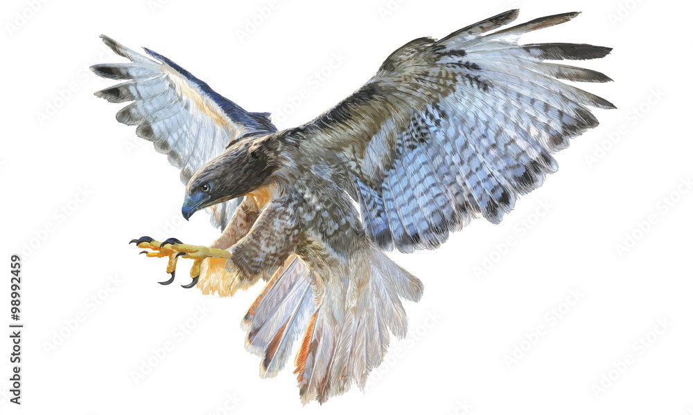 Fotografie, Obraz Falcon flying hand draw and paint vector illustration on white background