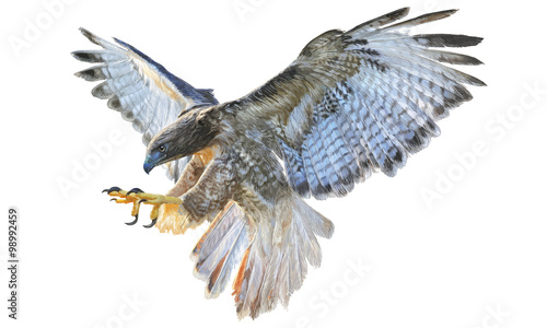 Fotografía  Falcon flying hand draw and paint vector illustration on white background