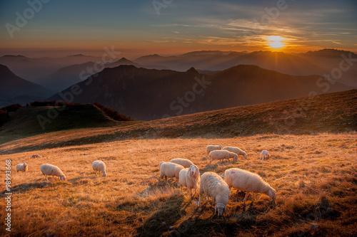 Foto op Aluminium Schapen pecore