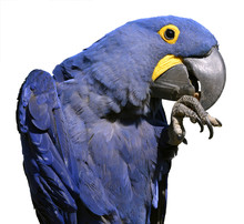 Isolated Hyacinth Macaw