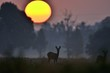 Sunset with a small doe