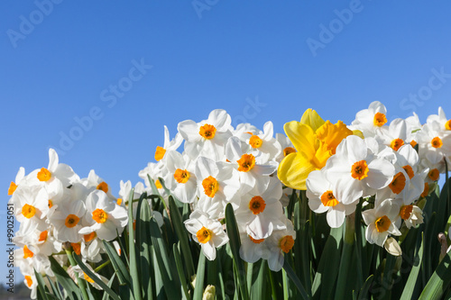 Papiers peints Narcisse Daffodils with Blue Sky