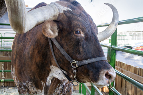 Foto op Canvas Texas texas long horn at texas state fair