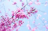 japanese cherry blossoms SAKURA