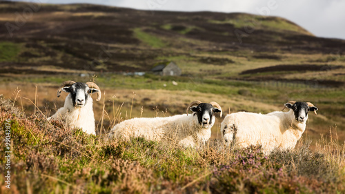 Scottish sheep trio Canvas Print
