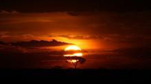 Acacia Tree At Serengeti Sunset