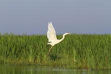 White Heron Flying Over Marsh