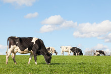 Black And White Holstein Dairy Cow Grazing On The Skyline  In A Green Pasture  Against A Blue Sky With White Clouds And The Herd In The Background