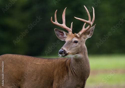 Aluminium Prints Deer Whitetail deer buck standing in an open field.
