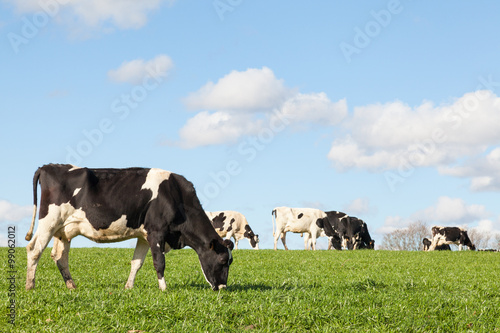 Wall Murals Cow Black and white Holstein dairy cow grazing on the skyline in a green pasture against a blue sky with white clouds and the herd in the background