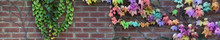 Garden Wall With Rainbow Colored Ivy - Wide Brick Wall With Green Ivy Attached To Left End And Multicolored Ivy Climbing Across The Right Hand Side With Space For Copy, Ideal For A Landscape Gardener