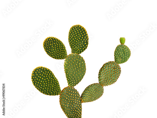 Poster Cactus Opuntia cactus isolated on white background