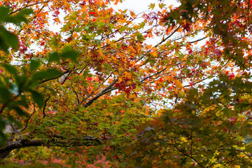 Fototapeta red foilage momiji maple tree leaves in autumn season