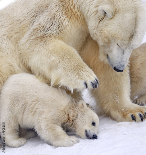 In de dag Ijsbeer Cub of polar bear under mother protection