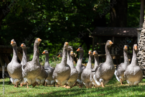 Foie gras geese at the goose farm