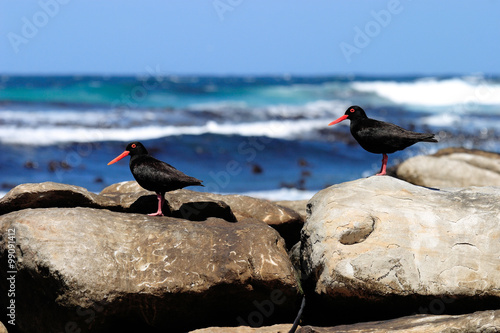 Fotografia, Obraz  beccaccia di mare africana