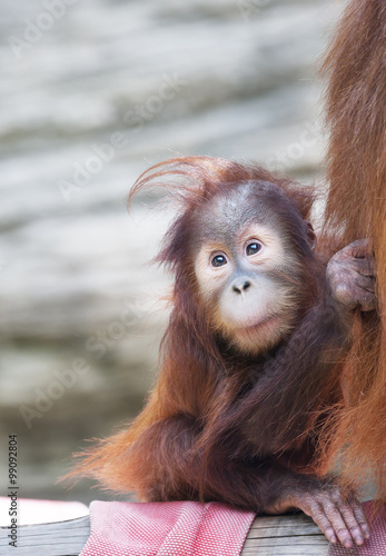 Deurstickers Aap Stare of an orangutan baby, nestled up his mother. A little great ape is going to be an alpha male. Human like monkey cub in shaggy red fur.