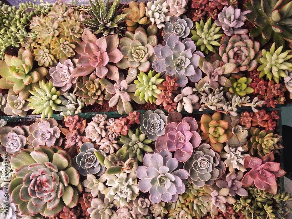 Fototapety, obrazy: 多肉植物