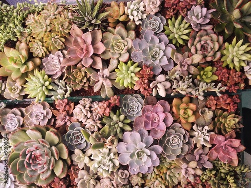 Fotografie, Obraz  多 肉 植物