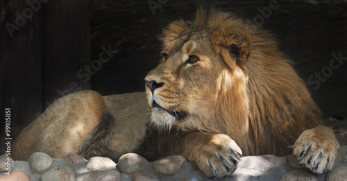Wall Murals Photo of the day Side look of an Asian lion, calm lying in the tree shadow. The King of beasts, biggest cat of the world. The most dangerous and mighty predator of the world. Beauty of the wildlife..