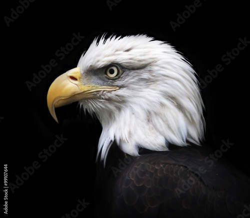 Head and shoulder of bald eagle, haliaeetus leucocephalus, isolated on black background. Side face portrait of an American eagle, US national character, very beautiful bird with proud expression.