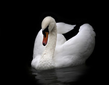 Portrait Of A Whooping Swan, Isolated On Black Background. White Swan With Orange Beak In Twilight. Wild Beauty Of A Excellent Web Foot Bird.