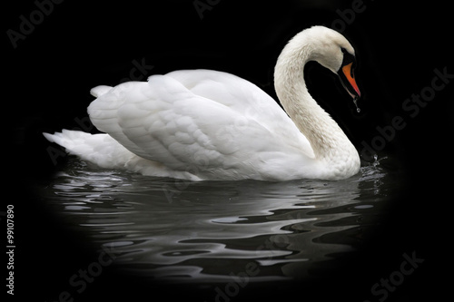 Photo sur Toile Cygne Side face portrait of a whooping swan, isolated on black background. White swan, side view, with orange beak and water drops. Wild beauty of a excellent web foot bird.