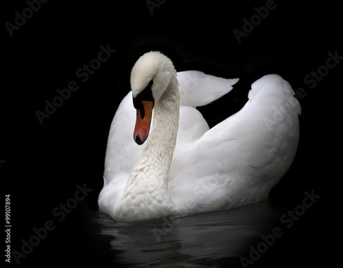 Obraz na plátně Portrait of a whooping swan, isolated on black background