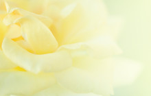 Yellow Roses Blur Background.