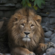 Head of young Asian lion, lying on rocky background. King of beasts, biggest cat of world, looking straight into the camera. The most dangerous and mighty predator of world. Wild beauty of nature.