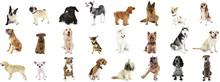 Large Group Of Dog Breeds, Iso...