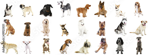 Poster Chien Large group of dog breeds, isolated on white