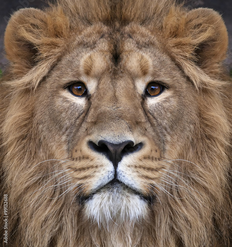 Tuinposter Leeuw The face of an Asian lion. The King of beasts, biggest cat of the world, looking straight into the camera. The most dangerous and mighty predator of the world. Authentic beauty of the wild nature.