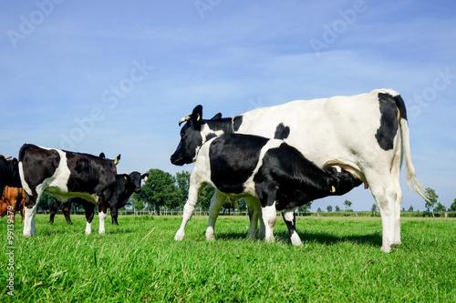 Photo Stands Cow Altdeutsches Niederungsrind säugt ein Kalb