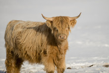 Scottish Highlander Cattle In The Snow