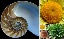 Beautiful Phi / Golden Ratio Spirals In Nature
