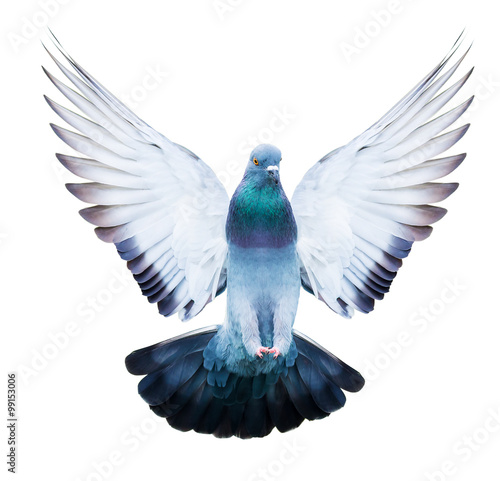 domestic pigeon bird in flying action isolated Wall mural