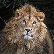 An Asian lion with shaggy mane in shadowy forest. The King of beasts, biggest cat of the world, looking straight into the camera. The most dangerous and mighty predator of the world. Square image.