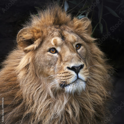 Staande foto Leeuw Gaze of an Asian lion in forest shadow. Calmness of the King of beasts, biggest cat of the world. The most dangerous and mighty predator of the world. Square image..