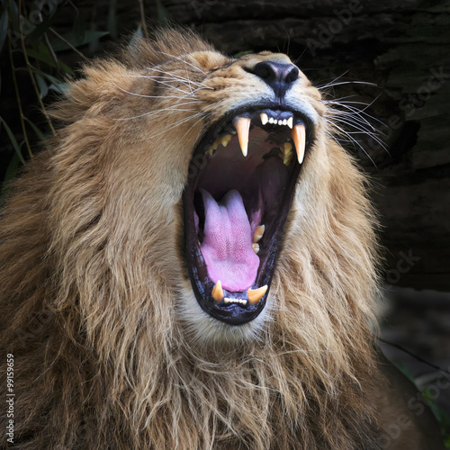 Fototapety, obrazy: Huge fangs of an Asian lion, resting in forest shadow. The King of beasts, biggest cat of the world. The most dangerous and mighty predator of the world with open chaps. Square image.